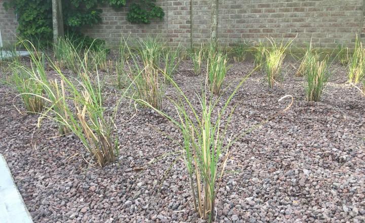 Beplantingen - Miscathus siergras
