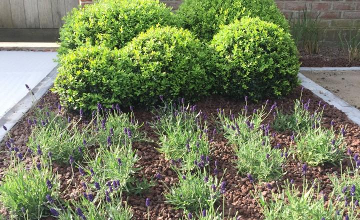 Beplantingen - plantvak met buxusbollen van verschillend formaat en lavendel 'hitcote'