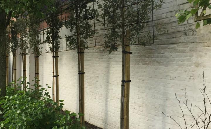 Beplantingen - quercus ilex bomen die leien aan elkaar