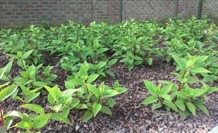 Beplantingen - Wim's Red